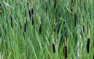 Biostrom reed